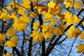 Branch of autumn maple beautiful yellow foliage Stock Photography