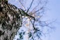 Branch and bark of the tree - looking up Royalty Free Stock Photo