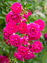 Branch of beautiful pink roses Royalty Free Stock Image