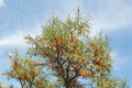 Branch with berries of sea buckthorn Royalty Free Stock Photo