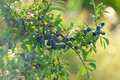Branch of berry fruit lot on Royalty Free Stock Image