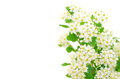 Branch of bird cherry tree prunus padus on a white background Stock Photos