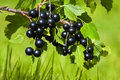 Branch of black currant Royalty Free Stock Photo