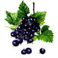 Branch of black currant on a white background. Royalty Free Stock Photo