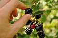 Branch of blackberry Royalty Free Stock Photo