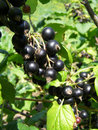 Branch of blackcurrant with ripe berries and green leaves Royalty Free Stock Photo