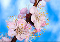 Branch of a blooming apricot tree  Stock Photography