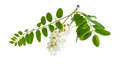 Branch of the blooming black locust tree Royalty Free Stock Photo