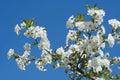 Sweet Cherry Flowers