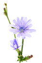 Branch with blooming chicory flowers chicory isolated on a white background Stock Image