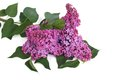 Branch of blooming lilacs isolated Royalty Free Stock Photo