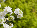 Branch of a blossoming Apple tree on blurred green background Royalty Free Stock Photo