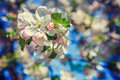 Branch of blossoming   apple tree floral Royalty Free Stock Photo