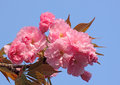 Branch of blossoming cherry tree over blue sky Royalty Free Stock Image