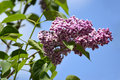Branch of the blossoming lilac syringa l a grade sensation against sky Royalty Free Stock Photos