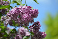 Branch of the blossoming lilac syringa l a grade sensation against sky Stock Image