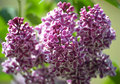 Branch of the blossoming lilac (Syringa L.), grade Sensation (Se Royalty Free Stock Photo