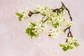 Branch of a blossoming plum tree isolated Royalty Free Stock Photo
