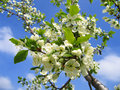 Branch of a blossoming tree Royalty Free Stock Image