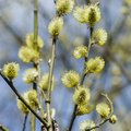 Branch of blossoming willow with catkins on bokeh background, selective focus, shallow DOF Royalty Free Stock Photo