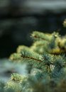 Branch blue fir tree Royalty Free Stock Photo