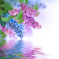 The branch of blue and pink lilac Royalty Free Stock Photo