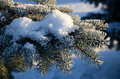Branch blue spruce in frost Royalty Free Stock Images