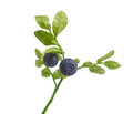 Branch of blueberry Royalty Free Stock Photo