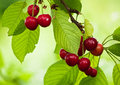 Branch of cherries Royalty Free Stock Image