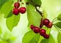 Branch of cherries