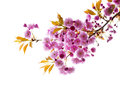 Branch with cherry blossoms pink blossom flowers isolated on white background Stock Image