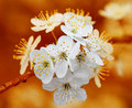 Branch of cherry flowers on orange background Royalty Free Stock Photo