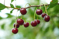 Branch of cherry with red berries Royalty Free Stock Photo
