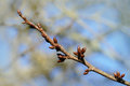 Branch of a cherry tree with closed buds