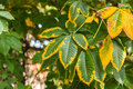 Branch of chestnut autumnal s leaves on the Royalty Free Stock Photos
