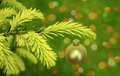 Branch of christmas tree Stock Images