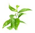 Branch of citrus-tree Royalty Free Stock Photo