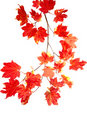 Branch of colorful red fall leaves Royalty Free Stock Photo