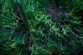 Branch of decorative needle cypress dark background