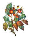 A branch of Dog rose Briar with red berries and green leaves.