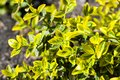 Branch of Euonymus fortunei `Emerald `n` Gold` closeup