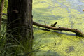 A branch fallen from a tree covered with moss lies swampy water duckweed in the forest at summer sunny day Stock Photos
