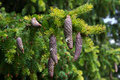 Branch of fir with cones Royalty Free Stock Photos
