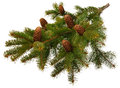 Branch  fir with cones Stock Photos