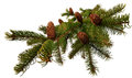 Branch  fir with cones Stock Images