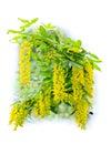 Branch Of Flowering Yellow Aca...
