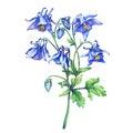 The branch flowering blue Aquilegia common names: granny`s bonnet or columbine.