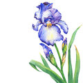 The branch flowering blue Iris with bud.