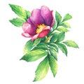 The branch flowering pink rose names: dog rose, rosa canina, Japanese rose, Rosa rugosa, sweet briar, eglantine, isolated on whi Royalty Free Stock Photo