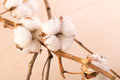 Branch with flowers of cotton background